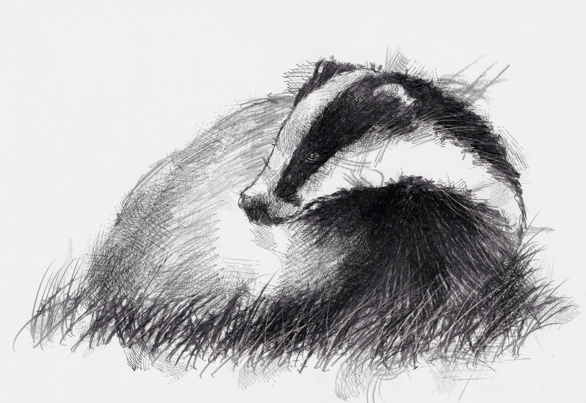 Uncategorized Badger Drawing british badger seanbriggs share this