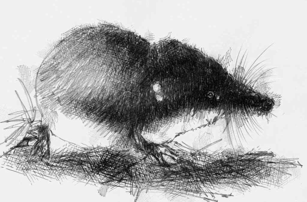 Water shrew