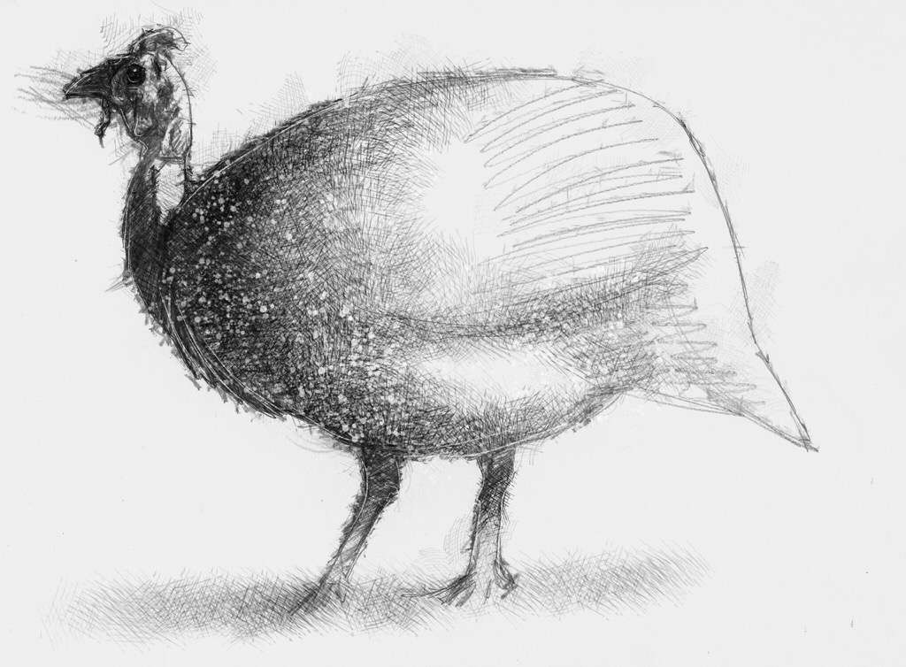 guinea1