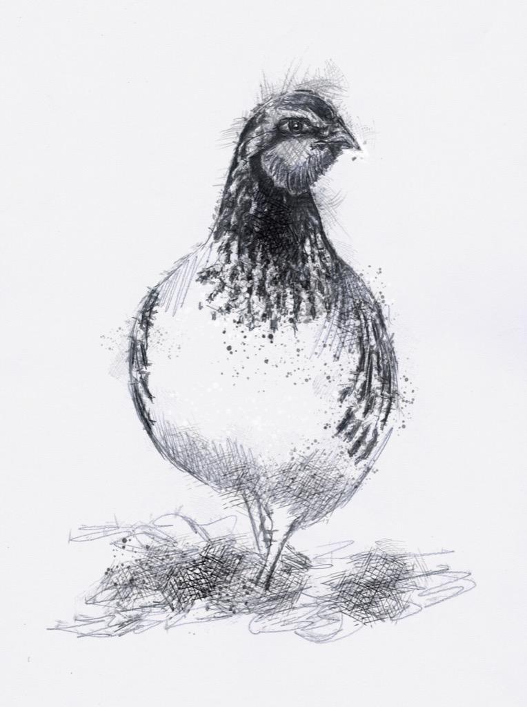 partridge1